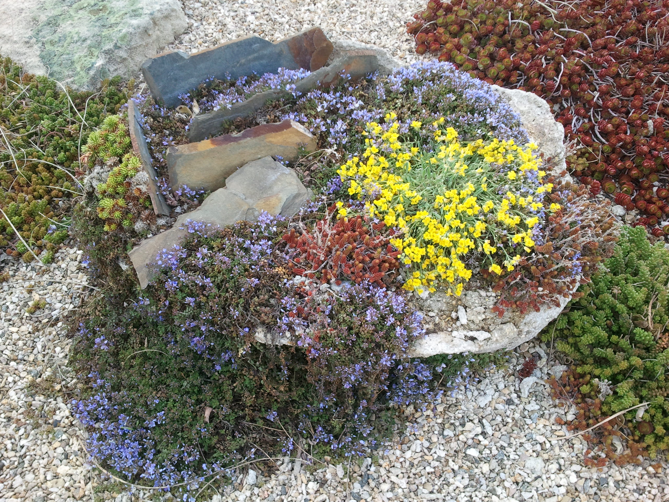 alpine plants for rock gardens photo - 1