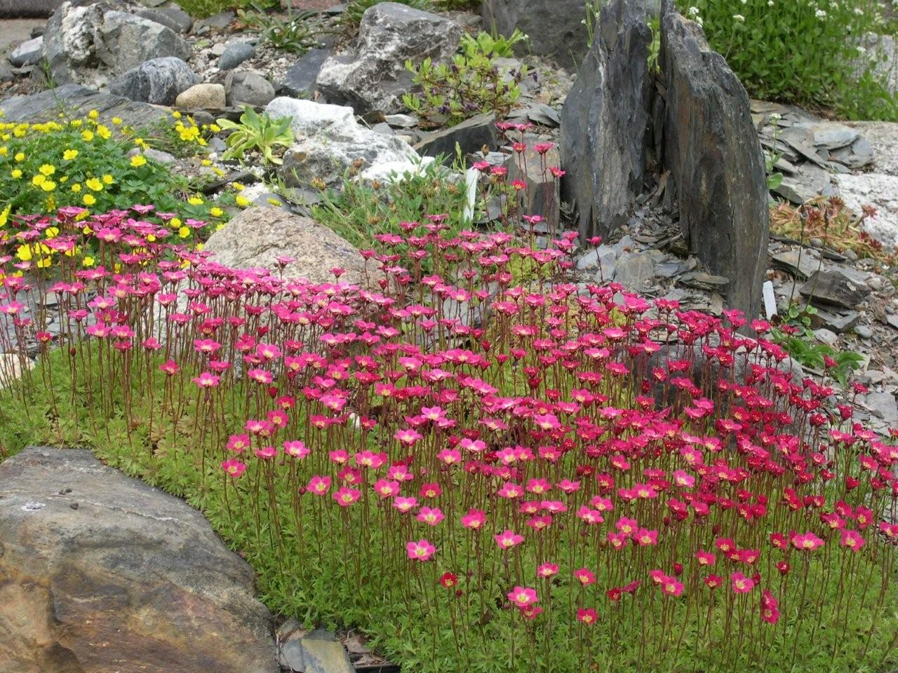 alpine plants for rock gardens photo - 6