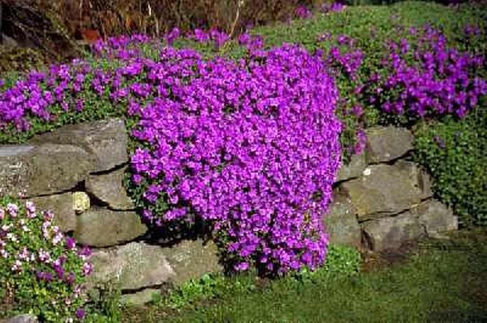 alpine plants for rock gardens photo - 7