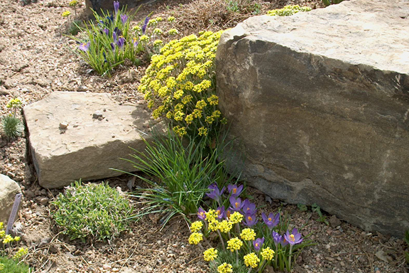alpine plants for rock gardens photo - 8