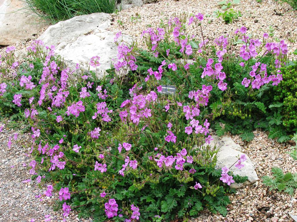 plants and shrubs for rock gardens photo - 3