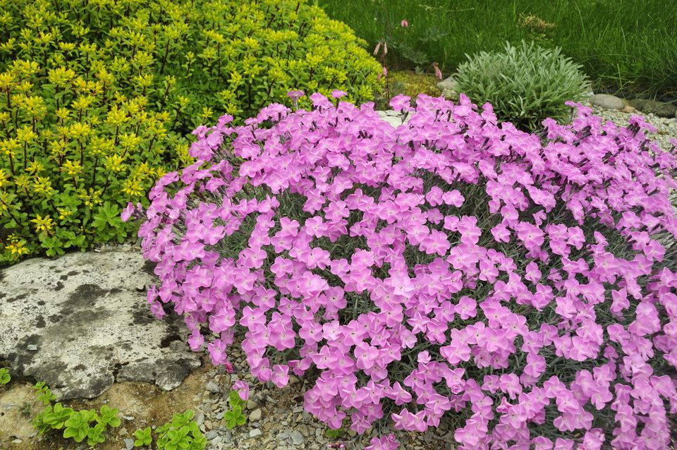 plants and shrubs for rock gardens photo - 7
