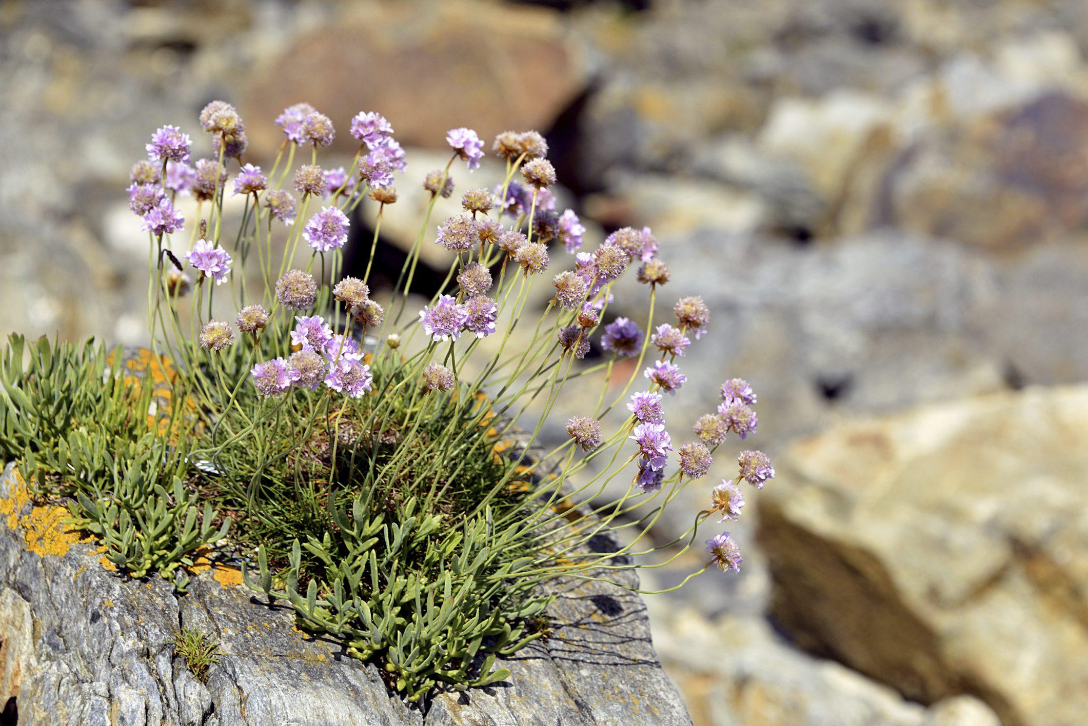 plants for rock gardens full sun photo - 10