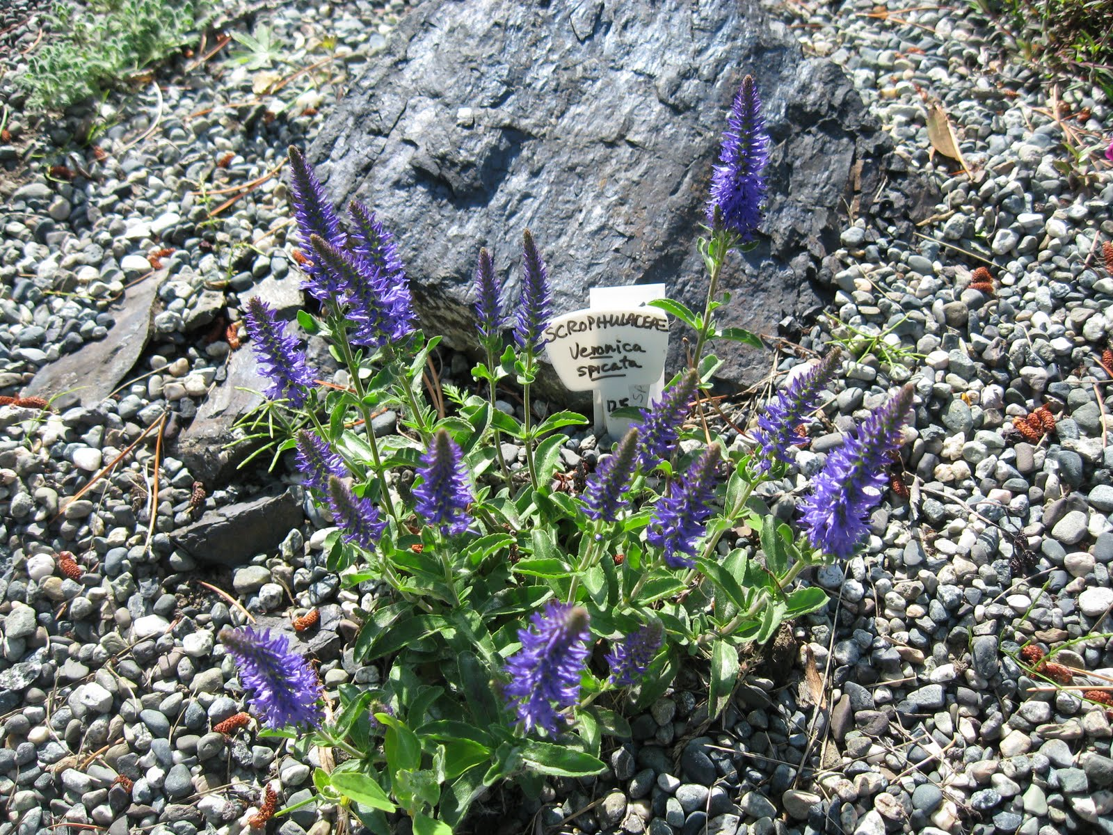 plants for rock gardens zone 4 photo - 5
