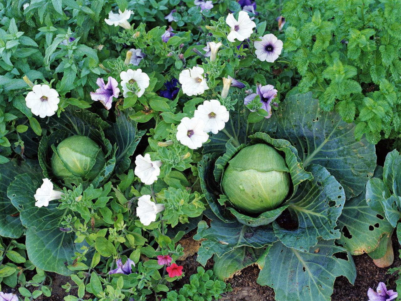 vegetable garden plants photo - 2