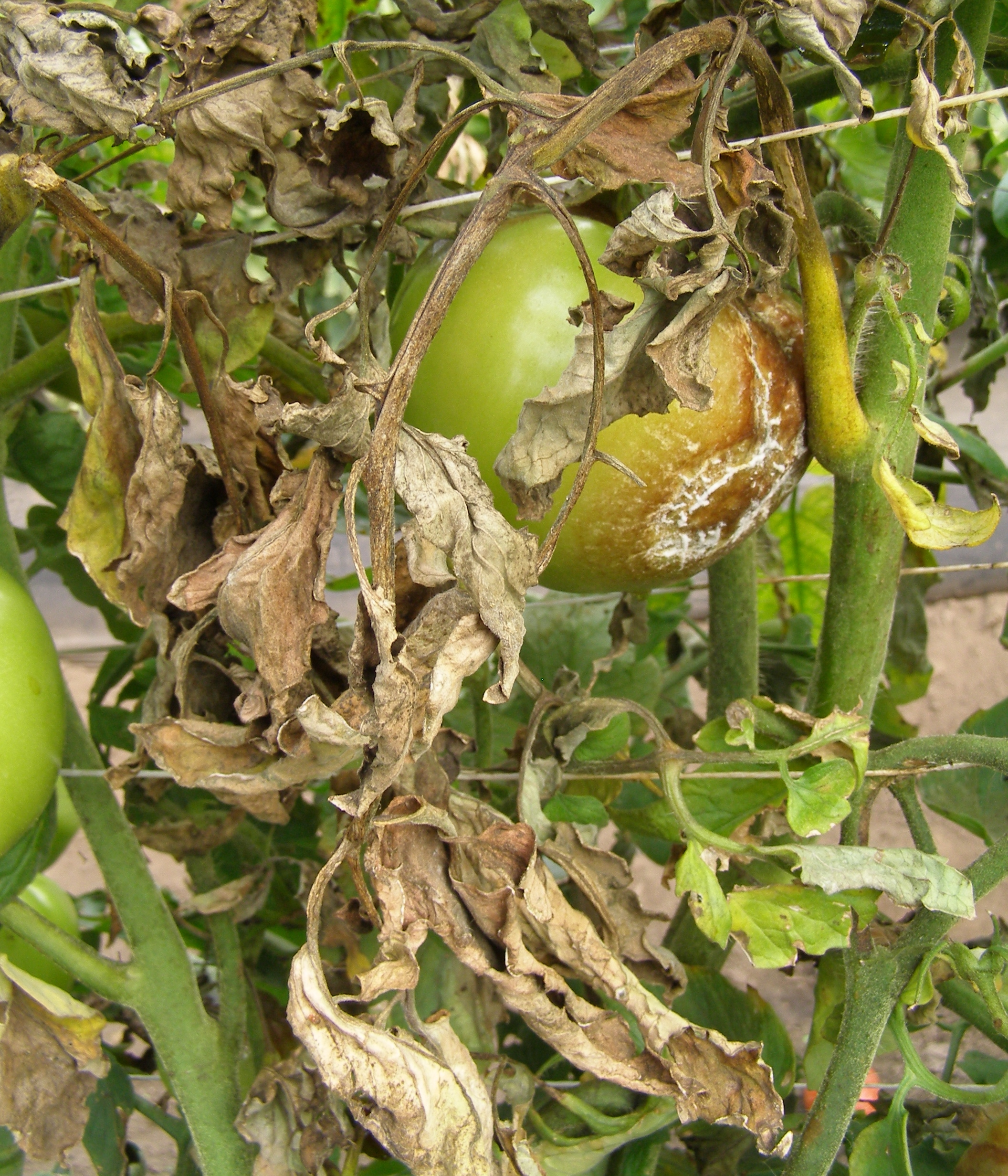 vegetable garden plants photo - 4