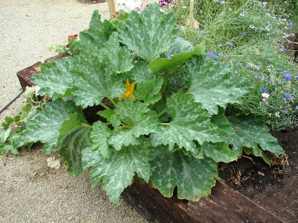 vegetable garden plants photo - 7